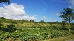 Bridgetown (Luigi Rosa) Tags: barbados caribbean bridgetown verde green vegetazione pianta cielo sky