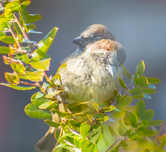 1 makes 2. (Omygodtom) Tags: 2 wildlife nature nikon70300mmvrlens bird songsparrow d7100 scene setting doubleexposed tannersprings