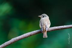 Rusty-tailed flycatcher (Arvind Manjunath) Tags: arvindmanjunath birds motofotog 2015 dandeli