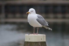 Zierikzee (Omroep Zeeland) Tags: meeuw haven seagull gull animal bird vogel paap zierikzee zeeland holland dutch harbour city stad natuur nature