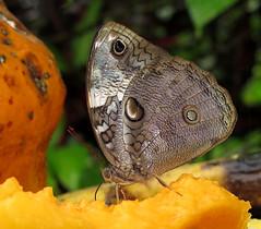 Opsiphanes tamarindi (Over 5 million views!) Tags: butterfly nymphalidae opsiphanestamarindi peru butterflies insect