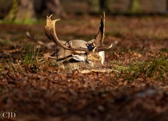Time For A Nap..... (CJD imagery) Tags: spring wildlifephotography wildlife canonef70200mmf28lisiiiusm canoneos80d naturephotography nature stag deer fallowdeer london richmonduponthames richmondpark england gb greatbritain uk unitedkingdom