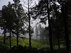 The side of the ridge in cloud (Wider World) Tags: grancanaria tree cruzdetejeda cloud mist spain espagna