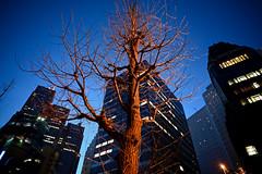 urban tree (tsuno_tokyo) Tags: nikon z6 voigtländer colorskopar 21mm f4 vm