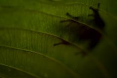Impressions (Khurram Khan...) Tags: treefrog wildlife wild wwwkhurramkhanphotocom costarica iamnikon ilovenature ilovewildlife khurramkhan nikonnofilter