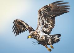 Bald Eagles (Jami Bollschweiler Photography) Tags: bald eagle photography fish fighting landing utah wildlife birding birds bird land juvenile