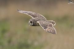 Short-Eared-Owl (Mick Erwin) Tags: shortearedowl nikon afs 600mm f4e fl ed vr tc14e iii d850