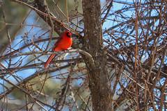 Bird 2 (ian.chavis3) Tags: cardinal bird birds canon