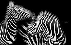 Playful stripes (Through-my-eyes.) Tags: zebra zebras dartmoorzoo stripes playful lines bw blackandwhite animals