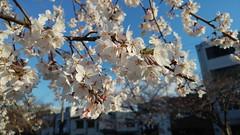 姬路城 Sakura 2019 4月 ~ ('s Eyes) Tags: 姬路城 sakura 櫻花 osaka 大阪 2019 さくら 日本 hk 香港