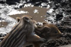 Wild boar (TheSaOk) Tags: wildboar villisika zoo korkeasaari pig sika villi wild baby animal nasset possu