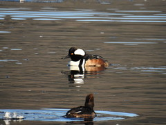 Hooded Merganser (RonG58) Tags: hoodedmerganser wilsonpond duck northmonmouth bird birds loiseau elpájaro tori dervogel birding birdwalk fauna flora habitat migration natureexploration wildlife waterbirds breedingplumage maine rong58 new usa images pictures photooftheday day image color photography photo photos us light trip nikon picture digitalcamera picoftheday photograph live geotagged nature naturephotography travel exploration spring
