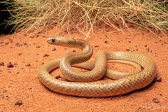 Western Brown Snake (Pseudonaja mengdeni) (elliotbudd) Tags: elliot budd herp herping herpetology herpetologist photography elapidae elapid western australia wa anne beadell highway snake pseudonaja mengdeni brown