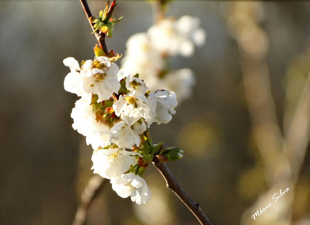 Águas Frias (Chaves) - ... flor de árvore de fruta (?) ...