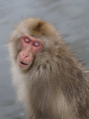 "Well, hello boys ! (Say ""Wasabi"") Tags: nagano snowmonkey monkey japan snowmonkeys yudanaka snow monkeys jigokudani macaques travel nature wildlife"