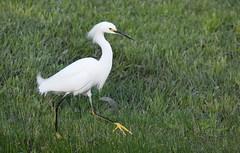 Snowy Egret (Christopher Lindsey) Tags: snowyegret bird birding california lomalinda sanbernardinocounty