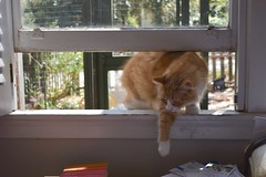 "Jimmy is entering the building (rootcrop54) Tags: jimmy orange ginger tabby striped male longhair longhaired window ""cat enclosure"" open neko macska kedi 猫 kočka kissa γάτα köttur kucing gatto 고양이 kaķis katė katt katze katzen kot кошка mačka gatos maček kitteh chat ネコ"