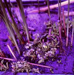 Myosotis rehsteineri WARTM.  Bodensee-Vergissmeinnicht, Rehsteiners Vergissmeinnicht Lake Constance Forget-me-not (Spiranthes2013) Tags: myosotisrehsteineriwartm bodenseevergissmeinnicht rehsteinersvergissmeinnicht lakeconstanceforgetmenot myosotisrehsteineri vergissmeinnicht forgetmenot kfwolfstetter plant pflanze pflanzendias plantae scan deutschland diaarchiv diascan 1991 6x6dia 6x6 kerneudikotyledonen coreeudicots asteriden asterids euasteriden euasterids rauhblattgewächse borages boraginoideae boraginales myosotis lowerfranconia unterfranken lkmiltenberg becker bayern bavaria 6x6dias