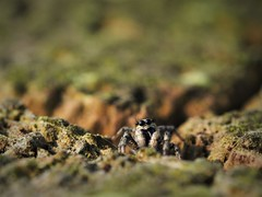 Zebraspringspinne  (Salticus scenicus) (DerJanK) Tags: zebraspringspinne salticus scenicus springspinne spinne jumping spider zebra eyes augen