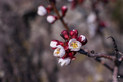 Квітнення плодового дерева (ucrainis) Tags: spring khortytsia blooming bloom blossom nature close macro red pink white branch tree