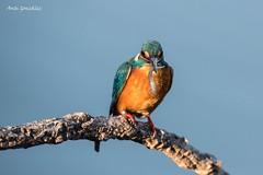 Martín con pescaito (morlokiano) Tags: fauna naturaleza animales aves birds martínpescador charcas laguna
