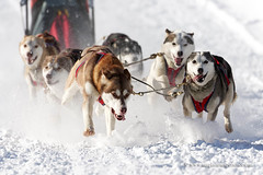 Sled dog race (My Planet Experience) Tags: sleddog snowdog sport alaskan siberian husky huskies team dog animal nordic sled snow speed race racing running musher mushing pulka pulk sledge sleigh white winter alaska yukon siberia myplanetexperience wwwmyplanetexperiencecom