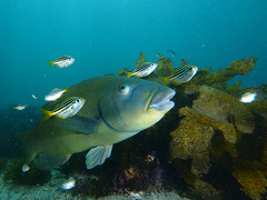 Shelly-17 (Cositos :)) Tags: shelly beach manly sydney sidney australia shark grouper blue stingray sun rays wobbegong medo freediving diving snorkel apnea underwater photography wideangle angular olympus epl2 918mm seasea friendsofcabbagetree bay