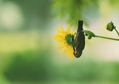 Busy Busy Drinking Nectar 😍😍 (pixelrajeev) Tags: pixelrajeev sunbird sunflower nectar