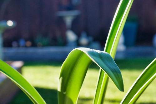 2019-02-05 - Nature Photography - Flowers - Amaryllis