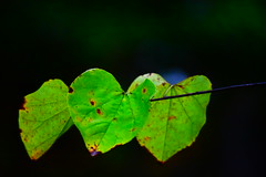 Neon Green Leaves (filmcrazy1014) Tags: nikon outdoor wildlife nature colorful colorfulleaves leave leaves greenleaves green brightcolors brightgreen neongreen plant branch treebranch tree macro bokeh detail art blue black saturated brown yellow