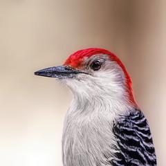 Mr. R.B. (Goromo) Tags: redbelliedwoodpecker woodpecker male portrait bird