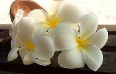 Immaculate (langkawi) Tags: plumeria frangipani maldives white flowers