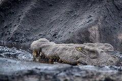 Camouflage... (lyn.f) Tags: crocodile camouflage crocodylusniloticus mud cottonsoil chobenationalpark botswana