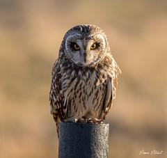 Short Eared Owl (Simon Stobart) Tags: short eared owl asio flammeus post north east england uk