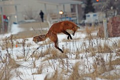 Darkness On The Edge Of Town (marylee.agnew) Tags: red fox vulpes urban pounce hunting darkness city nature wildlife canine night outdoor winter