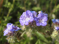 Blooming Blue Beauties (zoniedude1) Tags: arizona desert springinthedesert wildflowers desertbloom2019 scorpionweed phacelia distantphacelia phaceliadistans hydrophyllaceae waterleaffamily wildheliotrope annual perennial native purpleblue flower greendesert thespringbloom desertscape brilliant desertinbloom maricopacounty tontonationalforest bartlettlakerecreationarea desertspring2019 2240ftelevation inthewild outdoors hiking exploration discovery closeup detail macro southwest nature canonpowershotg12 pspx19 zoniedude1 earthnaturelife