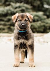2019-03-02, Mel x Dezi Dark Blue Male-3 (Falon167) Tags: gsd germanshepherddog german shepherd dog puppy mel dezi melxdezi litter bessie puppies
