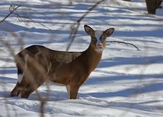 Piebald Deer_19 (Scott_Knight) Tags: deer piebald minnesota scott knight canon wildlife nature winter