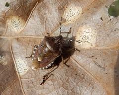 Dolycoris baccarum (rockwolf) Tags: dolycorisbaccarum punaise hairyshieldbug hemiptera pentatomidae heteroptera insect uptonmagna shropshire rockwolf