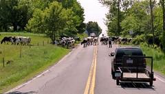 cows crossing (jmunt) Tags: cows landscape rural