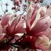 Flowers, neighbor's ornamental magnolia 1