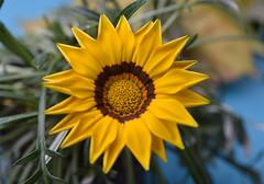 Like a sculpture (Pensive glance) Tags: gaxania flower fleur ngc