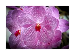 Orchids @ the ATL Botanical (2365) (jim fleckenstein) Tags: orchid plant flower bloom close macro closeup atlanta eos canon macrolens dof bokeh