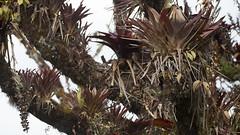 Costa Rica - Plants growing on tree (Rez Mole) Tags: costa rica plants