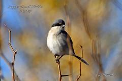 Loggerhead Shrike (Edhorton) Tags: henderson bird viewing preserve las vegas nevada wildlife coopers hawk ringnecked duck vermilion flycatcher bluewinged cinnamon greenwing teals loggerhead shrike
