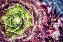 Sempervivum.            Lanzarote (pigeonfeed1) Tags: succulent sempervivum sonya7iii sony lanzarote hdr flower plant cactus