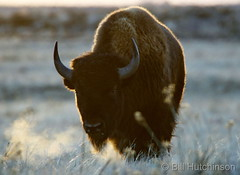 December 19, 2018 - Bison head on. (Bill Hutchinson)