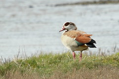 Egyptian Goose-7D2_2942-001 (cherrytree54) Tags: canon sigma 7d 150600 rye harbour east sussex egyptian goose