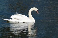 Reflection (evisdotter) Tags: reflection spegling swan svan bird fågel water nature macro sooc light spring ngc