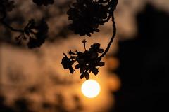 Spring 2019, Tokyo (AuNaturel Photos) Tags: spring tokyo japan flower cherryblossom sakura sun sunset contrast goldenhour evening eveningsun springinthecity bridge trees calm